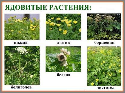 Картинки по запросу ядовитые растения